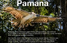 #FlyFreePamana Resurfaced after Philippine Eagle Shot Dead
