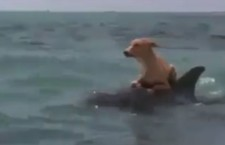Dolphin Saved Dog from a Shark – Cute Animal Video of the Day