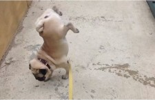 Cute Animal Video of the Day: Pug Pissing Like a Boss