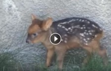 Cute Animal Video of the Day: Bambi is Real