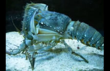Bizarre Animal Video of the Day: Lobster Cast off New Shell