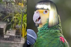 singing-parrot