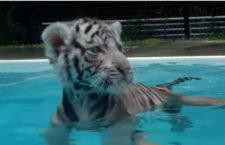 Cute Animal Video of the Day: Swimming White Tiger