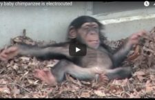 Bizarre Animal Video of the Day: Electrocuted Baby Chimpanzee
