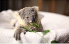Cute Animal Video of the Day: Baby Koala