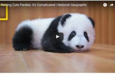 Cute Animal Video of the Day: Baby Pandas