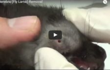 Gross Video of the Day: Cuterebra (Fly Larva) Removal from a Cat