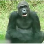 Cute Animal Video of the Day: Funny Gorilla
