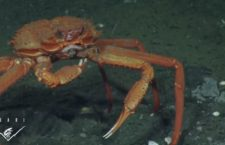 Bizarre Animal Video of the Day: Crab Eating Frozen Methane