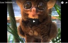 Cute Animal Video of the Day: Cute Tarsier